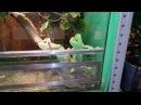 Самки йеменского хамелеона попрошайничают