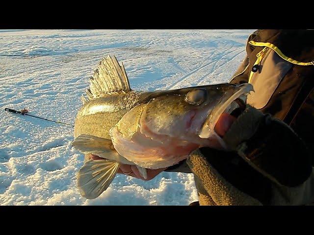 Ловля судака зимой на тюльку отводным поводком со льда