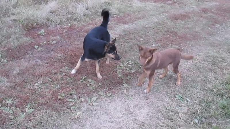 Собачьи бои без правил