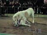 Собачий бой: Алабай и Питбуль