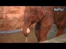 Водные процедуры слонёнка Филимона в Московском зоопарке LIVE