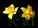 ABC TV | How To Make Daffodils Paper Flower From Crepe Paper - Craft Tutorial