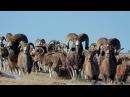Аргали Алтайский горный баран самый крупный баран в мире