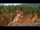 Мир животных. Дикая природа. Пума. Документальный фильм National Geographic