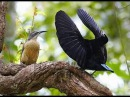 Birds of Paradise dance 2015