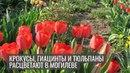 Крокусы гиацинты и тюльпаны расцветают в Могилеве