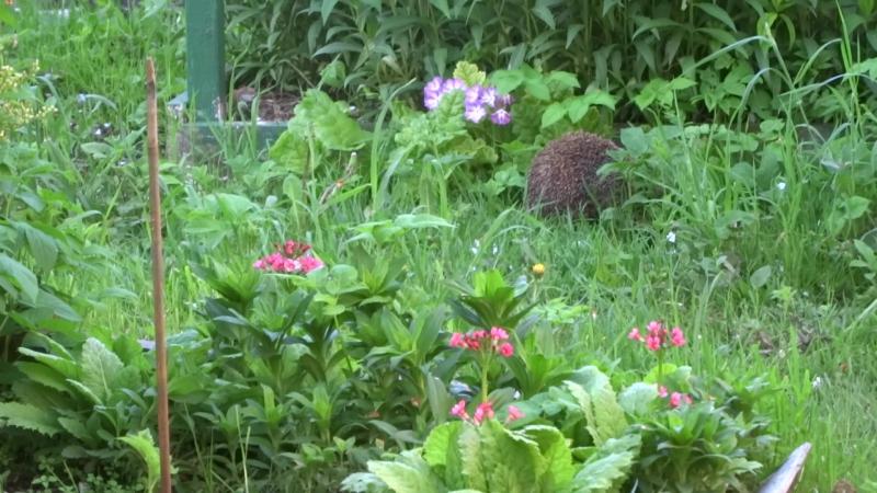 2014-05-26 дача - ежик на мостках