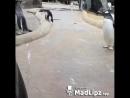 танец пингвина