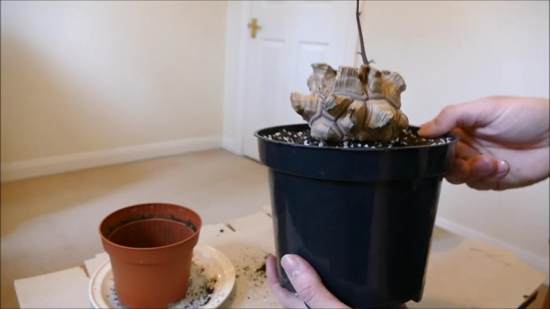Repotting My Elephant Foot Vine (Dioscorea elephantipes)