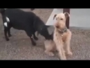 Невозмутимость по собачьи