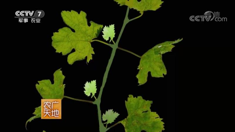 Виноград ''ПуТао'' (виноградная гроздь). Виноградная лоза ''Тэн''. Виноградник ''ПуТао Юань'' (виноградный сад). Виноградная пла