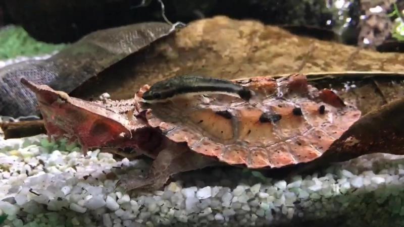 Черепаха и отик