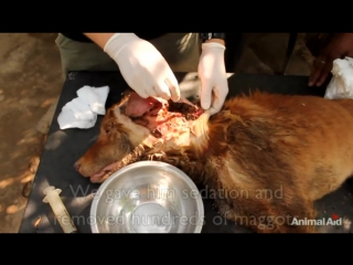 The worst wound_ street dogs epic recovery