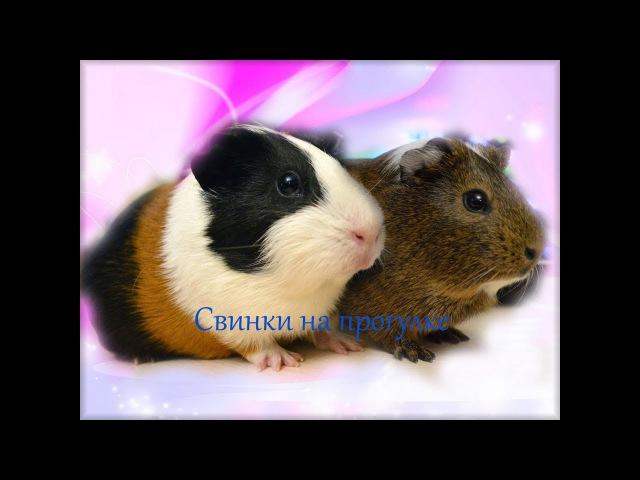 Морские свинки Шоколадка и Колобок гуляют вне свинодома