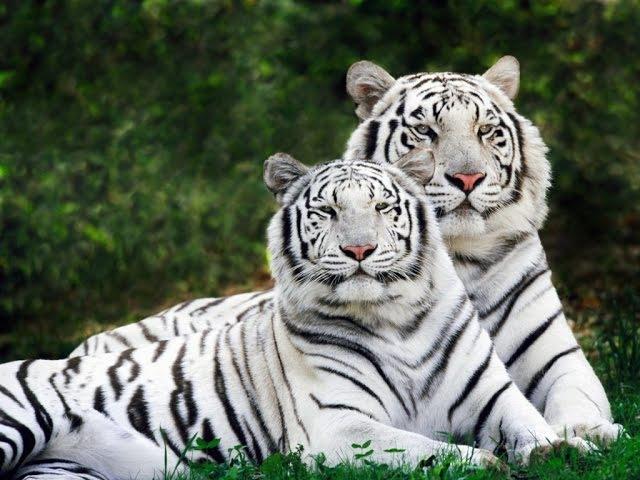 Scienza degli animali : tigre siberiana, tasso americano e rospo