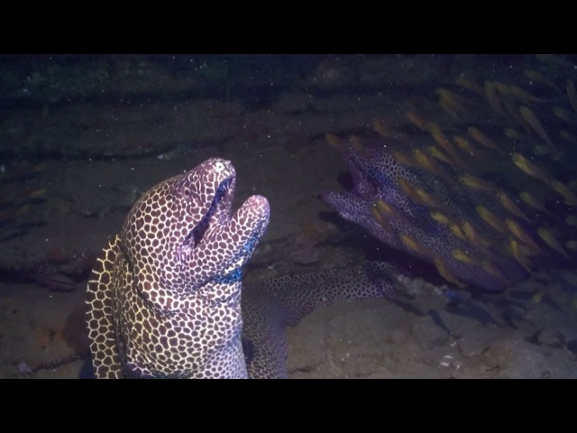 Moray Eel Launches Surprise Attack On Diver