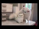 Cute Fluffy Persian Cat vs. Cute Stuffed Toy Cat