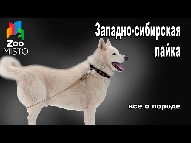 Западно сибирская лайка Все о породе собаки Собака породы Западно сибирская лайка