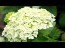 Ваш сад №101 - Гортензия и роза