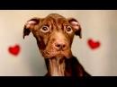 Лечение собаки после года страданий, история спасения питбуля Патрика в ветеринарной клинике.