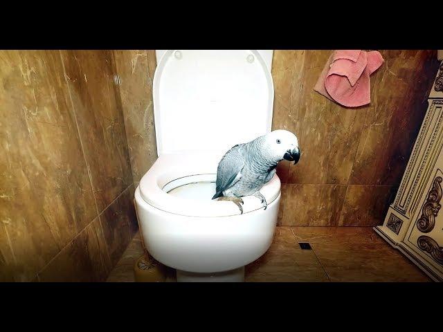 Попугай Жако Петруня приучается ходить в туалет.Parrot Jacko Peter learns to go to the toilet.