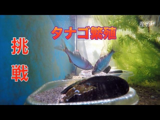 ヤリタナゴの繁殖と成長の記録 産卵〜浮上7日目