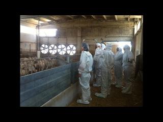 На Ишимском ветсанутильзаводе введен карантин в связи с африканской чумой свиней