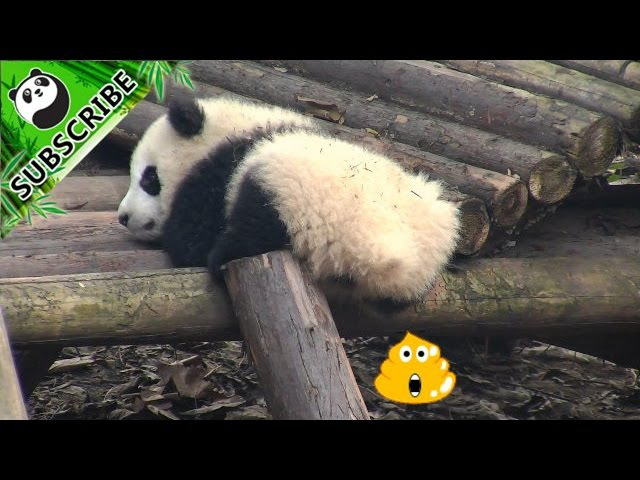 Baby panda poops in front of the camera