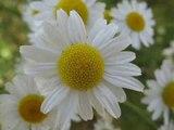 Дарите женщинам цветы Ян Райбург