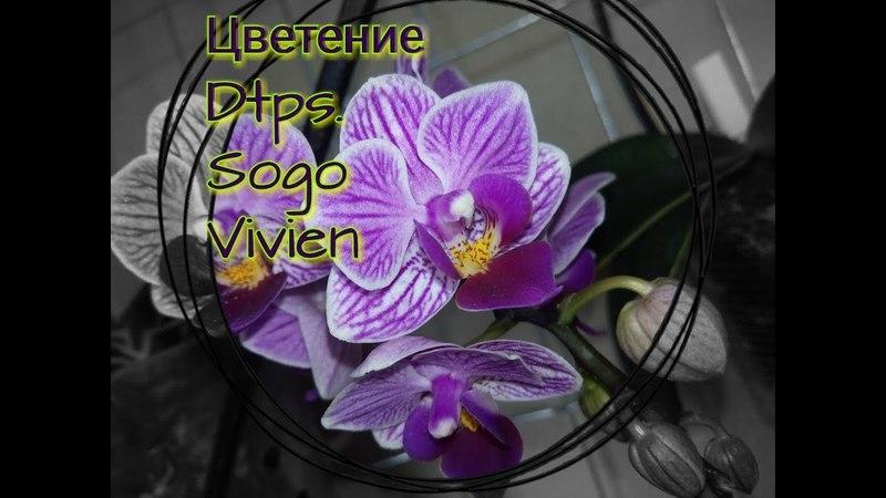 Цветение phalenopsis Dtps Sogo Vivien Доритенопсис Сого Вивьен Фаленопсис