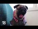 Pug Has 29 Yawns, But A Nap Aint One