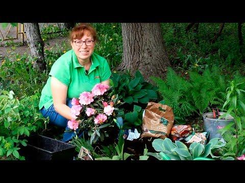 Как посадить рододендрон?