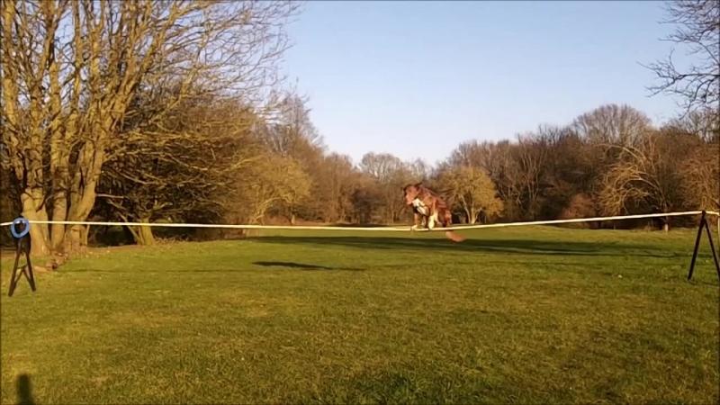 Amazing Dog and 7 Metre Tightrope walk