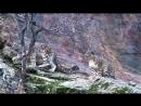 Снежный барс. Охота ирбиса.mp4