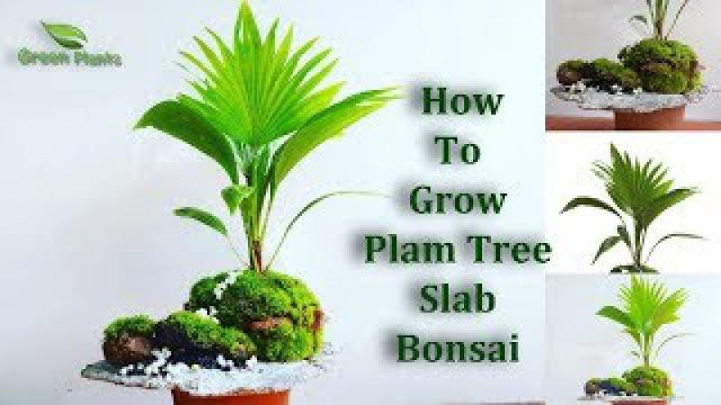 How To Grow Palm Tree Bonsai   palm Bonsai Slab Planting   Bonsai Guide for Beginners GREEN PLANTS