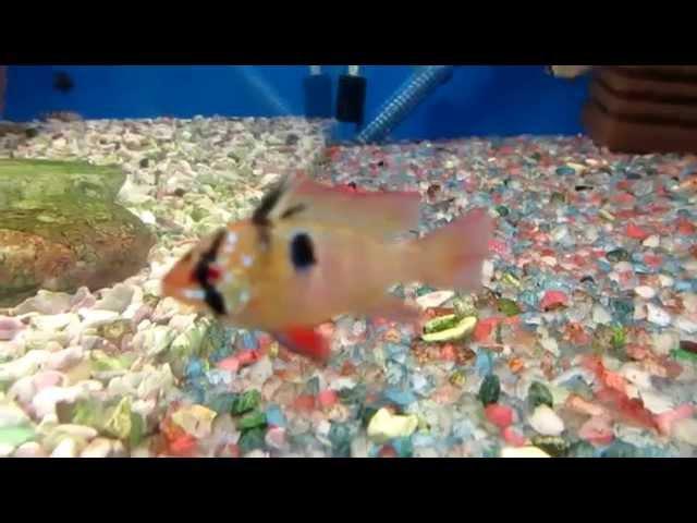 Апистограмма Рамирези - Аквариумная рыбка.