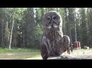 Great Gray Owl Strix nebulosa Perching on a Tree Stump in Fairbanks Alaska