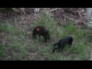 Bowhunting for Hogs in Florida 4 hogs in 1 night Big Boar Kill