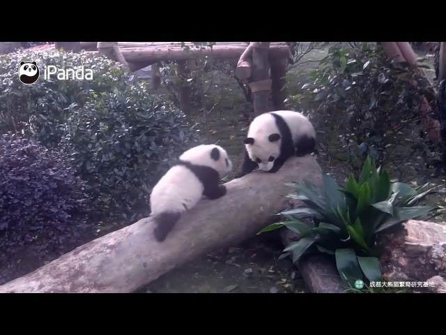 Who Is The King In The Panda World iPanda CCTV Русский