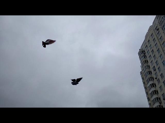 Бакинские бойные голуби 2017 ,цветные .Тел.7 903 210 58 60
