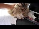 Guga - My Norwegian Forest Cat!!