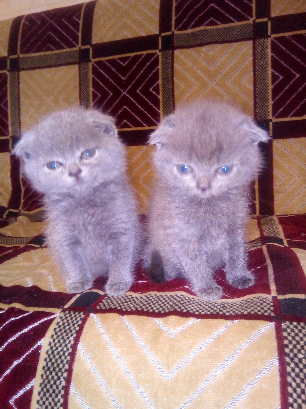 обратном недельные котята шотландские фото большие статьи собственном