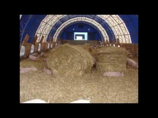 Свиноводство. Строительство свинарников. Содержание свиней по канадской технологии