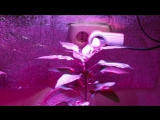 Carolina Reaper   The Hottest Pepper on Earth!   aka HP22B   Indoor Growing