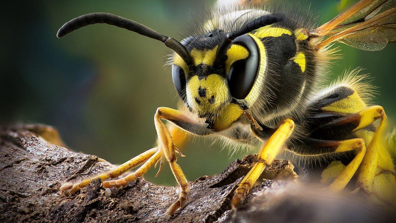 Как лечить укус осы?