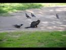 Ворона унижает кота