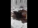 охота на лося з собаками