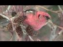 Белокрылые клесты едят семена ольхи из шишек Crossbill White winged Port Credit ONT Jan 8 '13 by LUC