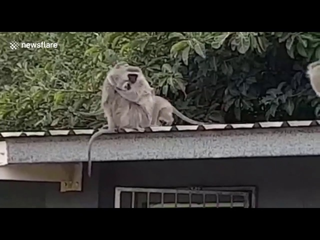 Rehabilitated wild monkey gets huge hug from family when released