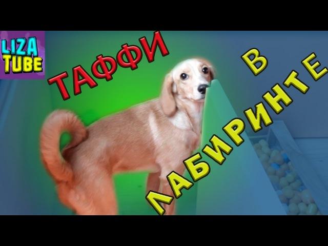 Щенок Таффи проходит ЛАБИРИНТ для Котов lizatube